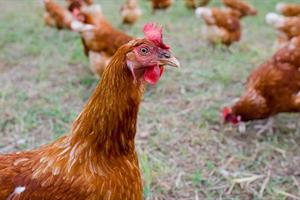Advice for chicken keepers after Government issues avian flu warning